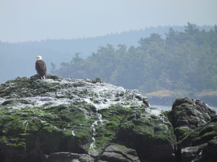 7. The highest concentration of bald eagles in the contiguous United States are on the San Juan Islands.