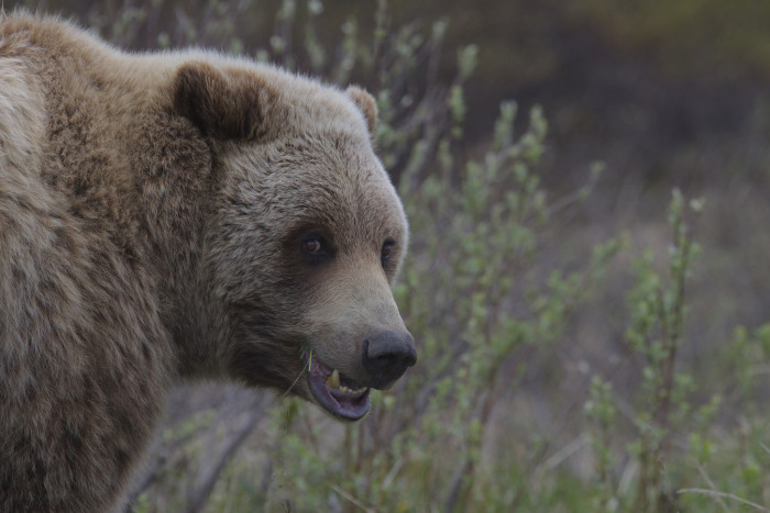 2. They may be cute and cuddly, but these bears do not want to play.