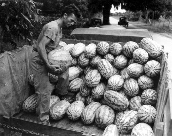 14. Donald Fort loading Garrison watermelons
