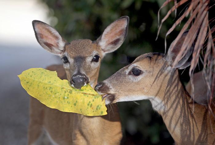 4. The endangered Key Deer