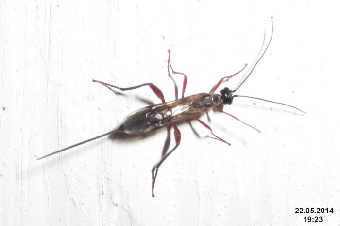 8. The Ichneumon Wasp