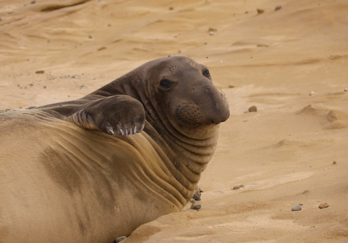 10. An elephant seal lounging on the sand at San Nicolas Island in Ventura County.