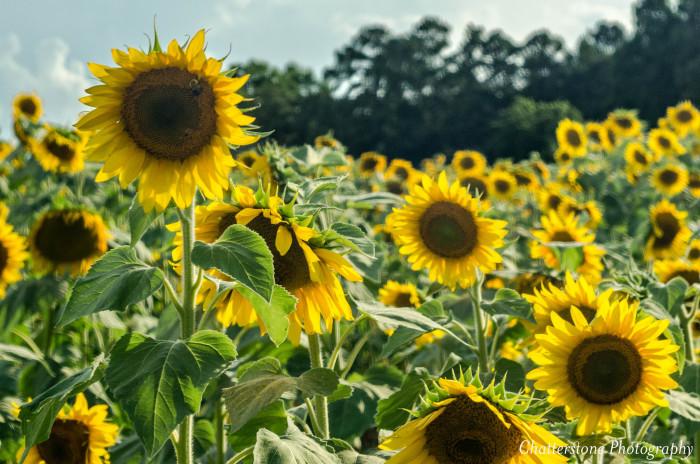 2. Dance in a field of blooming sunflowers.