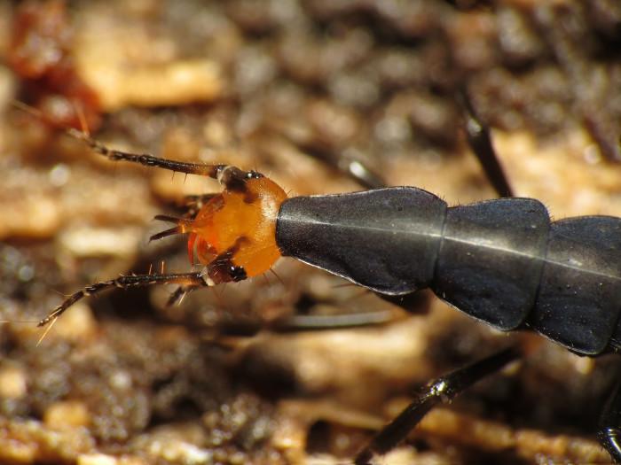 7. False Bombardier Beetle