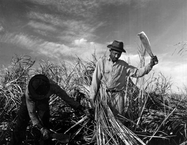 22. Jamaican laborers cutting sugar cane