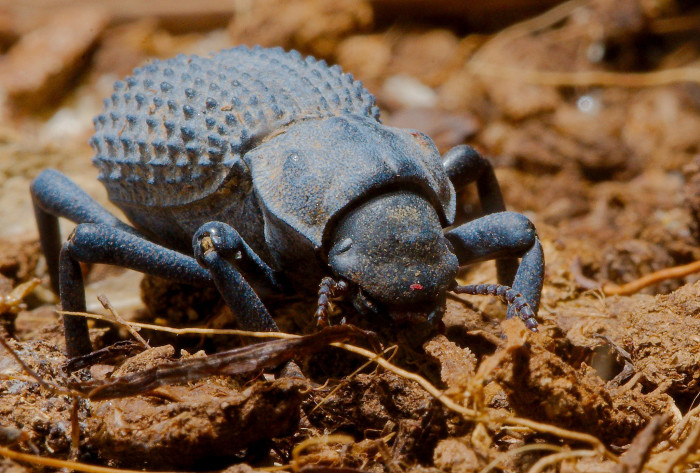 1. Blue Death Feigning Beetle