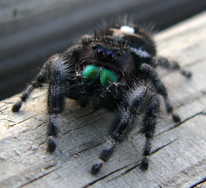1. The Bold Jumping Spider