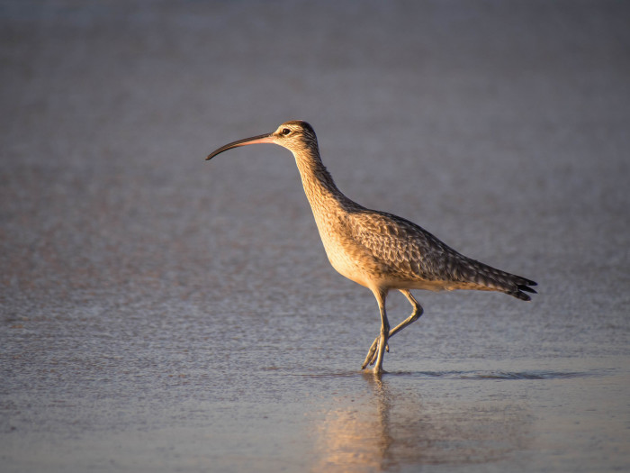11. This beautiful bird is a Whimbrel.