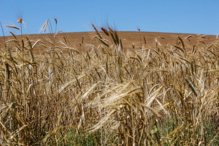 9. You probably know North Dakota produces a lot of wheat, but did you know it produces more wheat than almost every single state in the country?