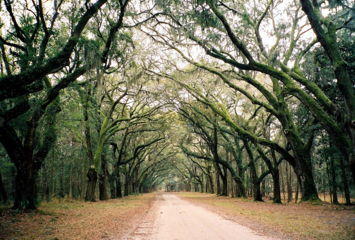 8. Or even the Wormsloe Trees in Savannah.