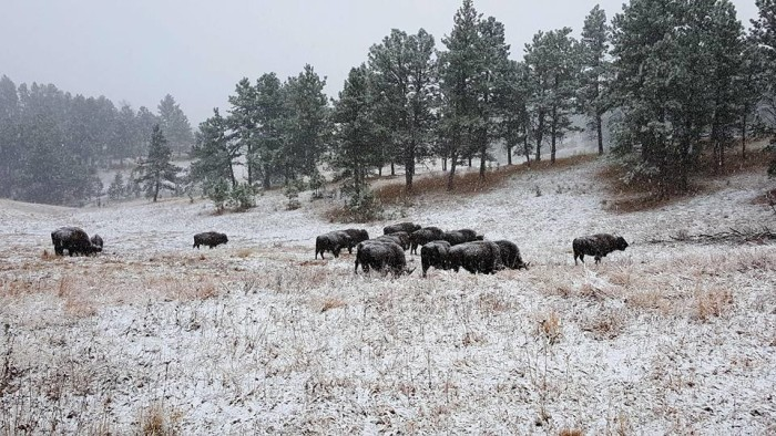 buffalo at custer state park