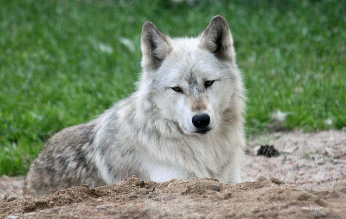 24. International Wolf Center