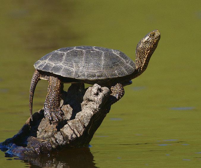 13. Western pond turtle at Wildwood Regional Park in Thousand Oaks.