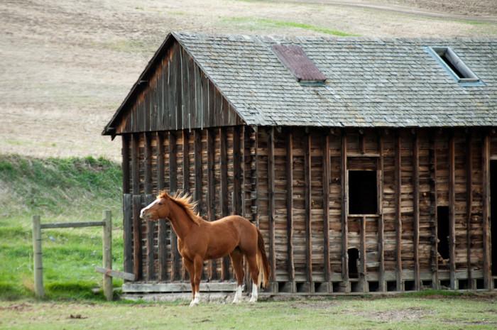 6. A horse enjoying a nice, soft breeze by a barn.
