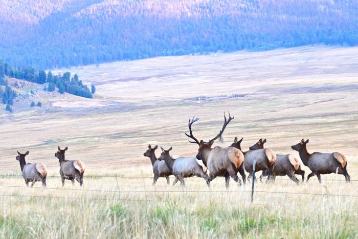 13. Herds of elk roam through the wilderness...