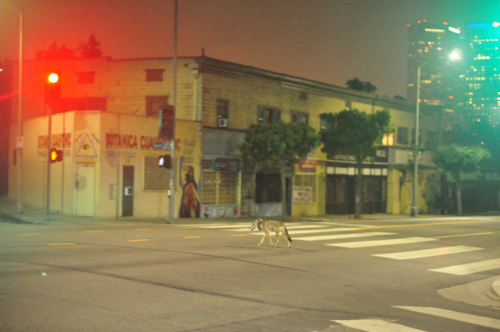 5. Wild coyote spotted walking in downtown Los Angeles in the middle of the night.