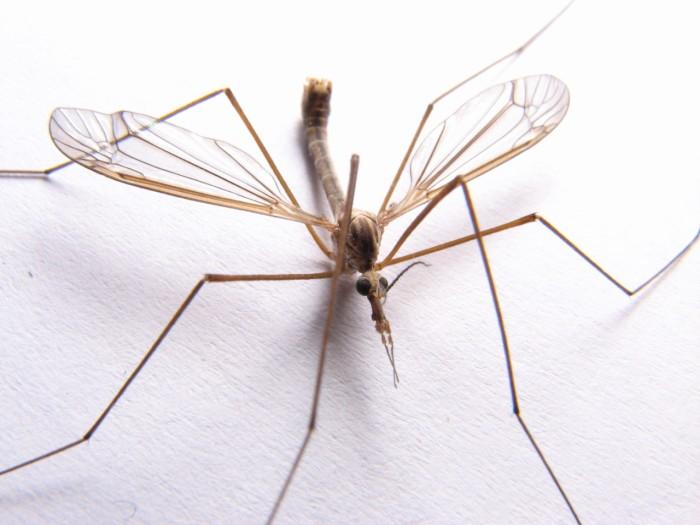 13. Cranefly