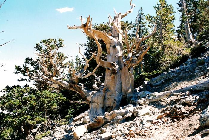 Bristlecone Pines: