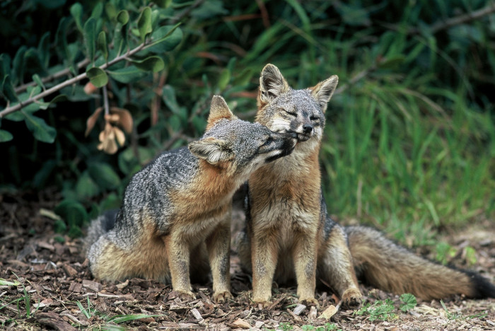 1. Island foxes on Santa Cruz Island off the  coast of Southern California caught nuzzling one another.