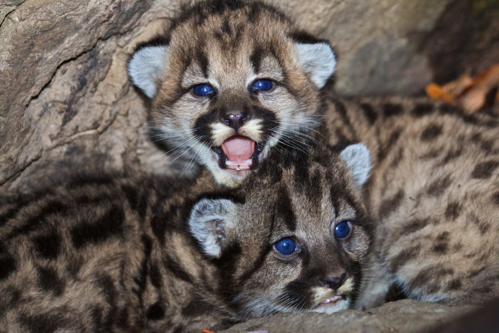 14. Just because they are so darn cute I had to include another picture of these baby mountain lions.