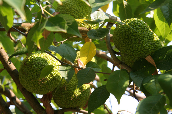 """10. The wood of the tree that produces what most Arkansans call """"horse apples,"""" and most other folks seem to call """"Osage orange,"""" was so prized for the making of bows that in Arkansas in the early 1800s, one Osage bow was worth a good horse and a blanket."""