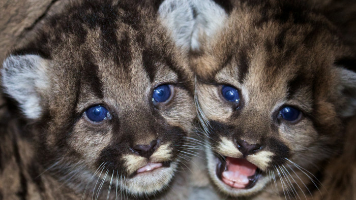 8. These baby mountain lions might be the most darling kittens I have ever seen. The photograph was taken in their lion den in the Santa Monica mountains.
