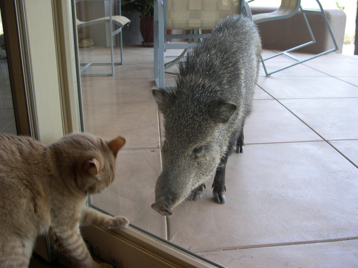 8. By the way, where else will you find a javelina trying to hang out with your cat?