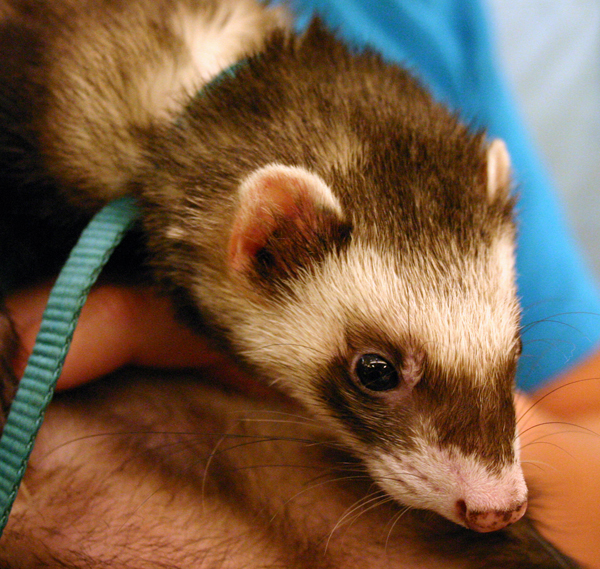 """2. """"No person, while hunting or obviously on his way to or from hunting may have a ferret in his possession, custody or control."""""""