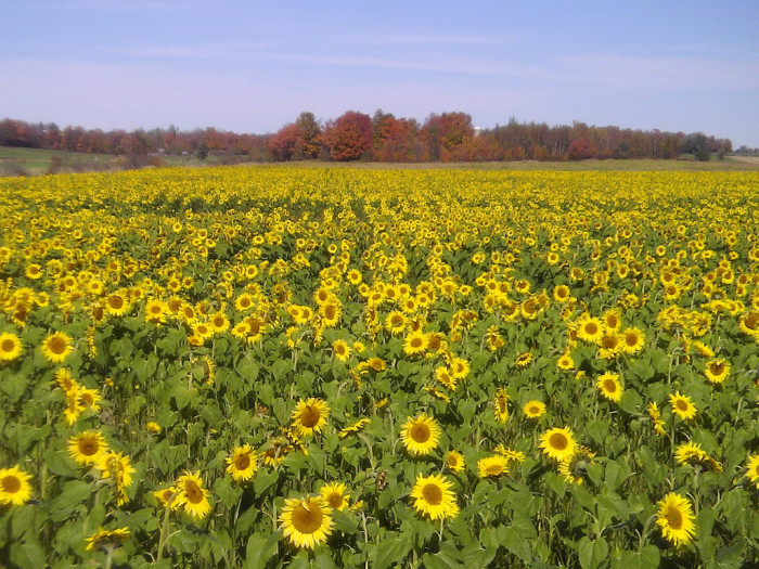 1.  Sunflower fields