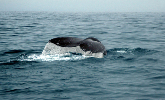8. Go whale watching.