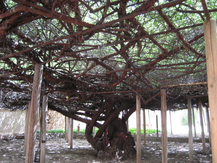 1. The world's largest rose bush is located in Tombstone.
