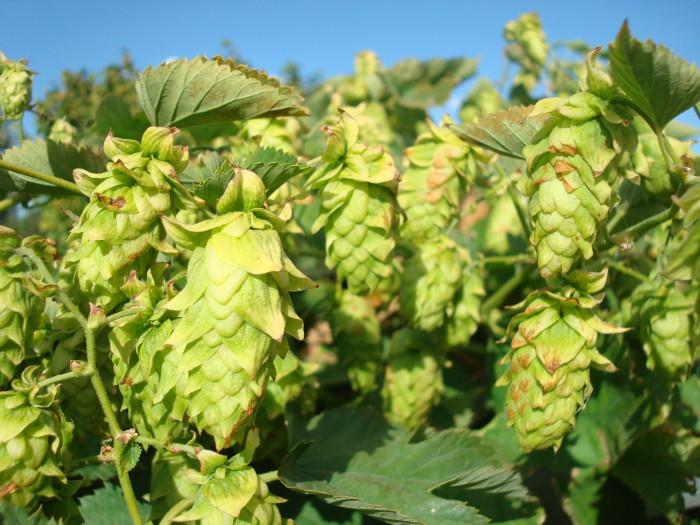 6. Hops to make beer