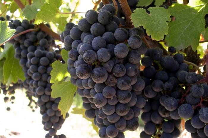 3. Concord & Niagara Grapes