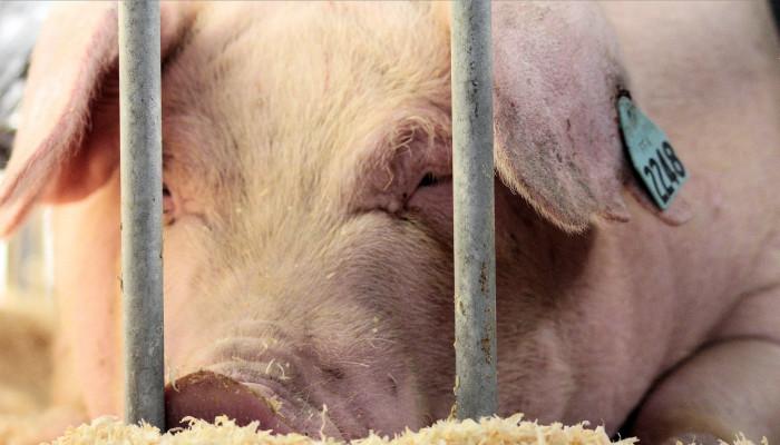 3. Pork production