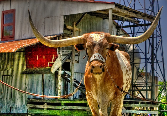 7. In 1920, the UT football team ate the original Bevo because they didn't have enough money to support him anymore.