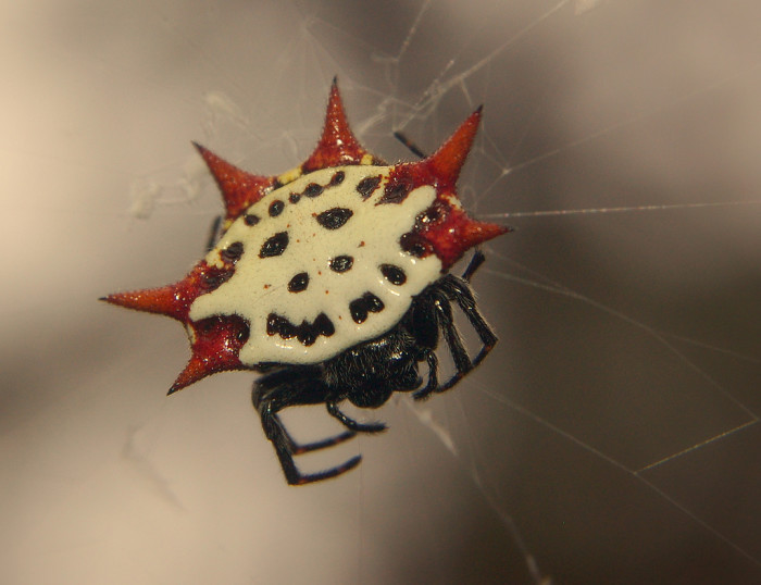 18. Spiny Backed Orb Weaver