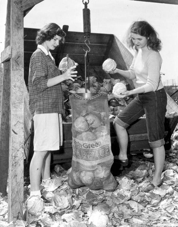 10. Two women weighing and sorting cabbages at the Beach & Parker Farm
