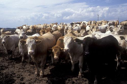 6. Raising cattle