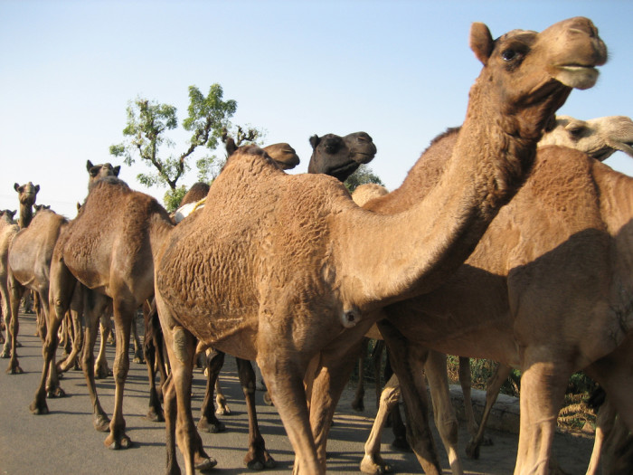 3. An interesting fact about Ali: he was part of a team that attempted to introduce camels to Arizona's deserts.