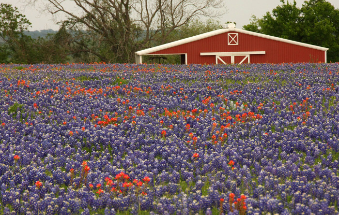 10. See the famous Texas bluebonnets in person.
