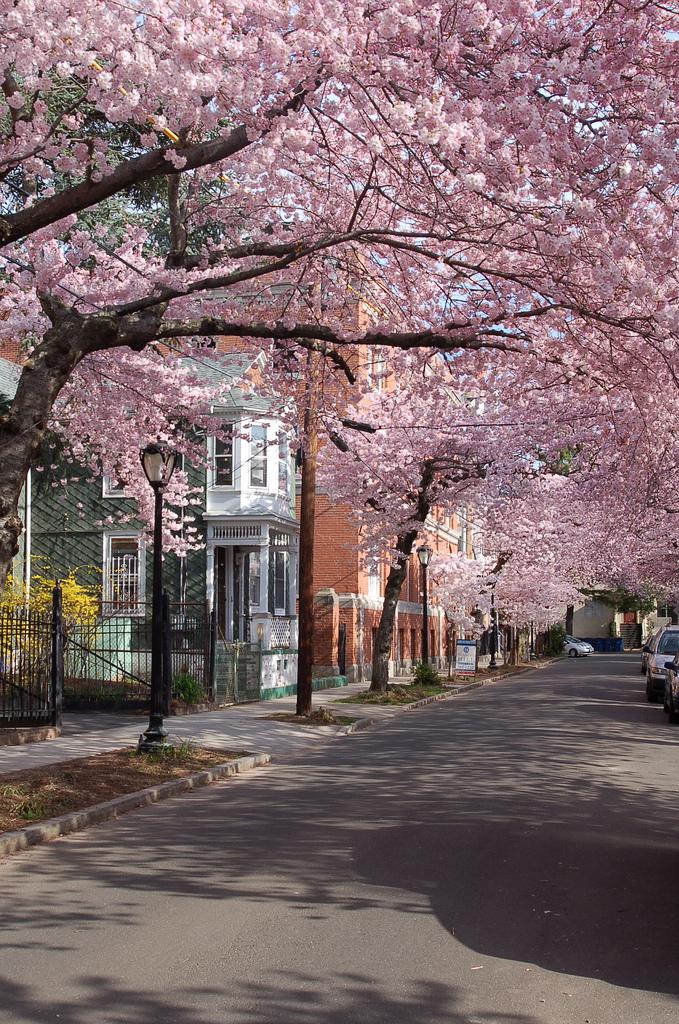 12. Cherry Blossom Festival, New Haven