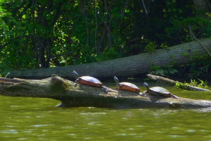 Sun bathing turtles...