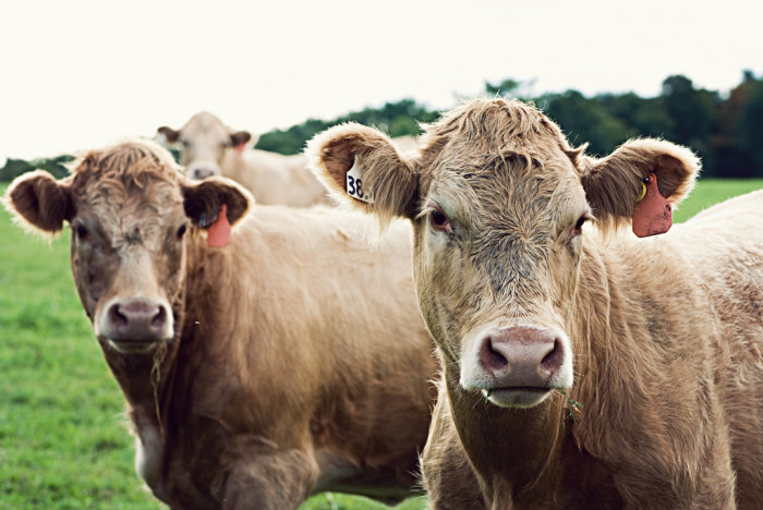 5. Any cattle that crosses state roads must be fitted with a device to gather its feces.