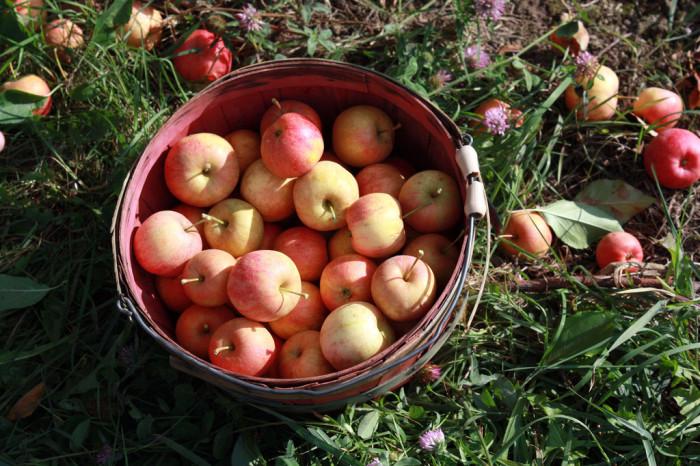 12.  Macintosh apples