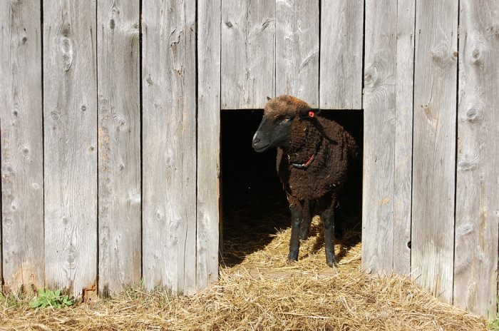 4. How cute is this sheep?