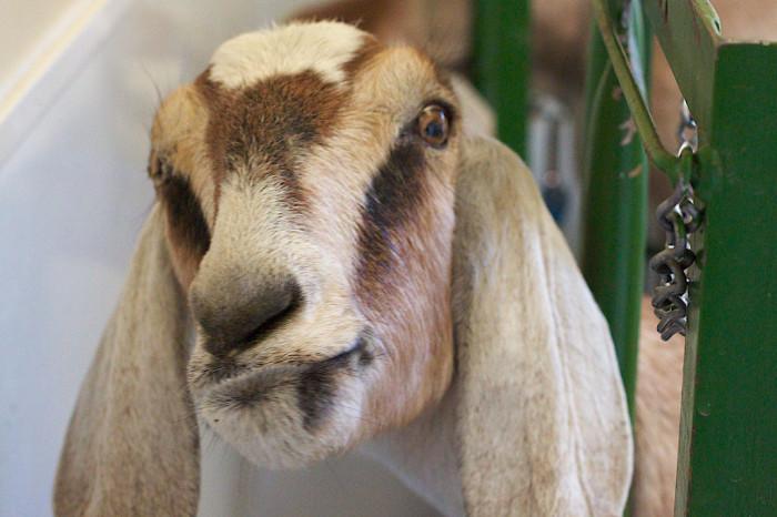3. Milk goats