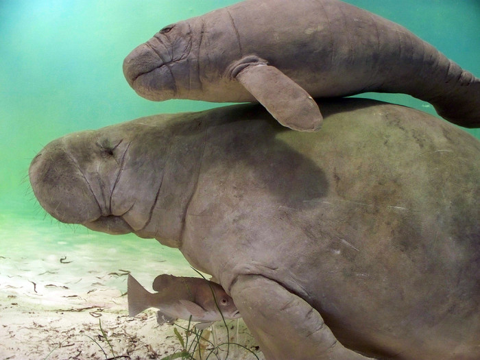 4. You've seen a real manatee.