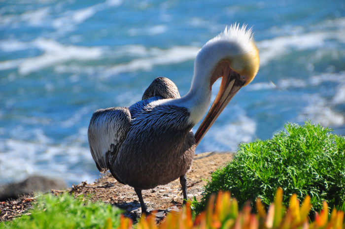 15. Pelican hanging out along the Southern California coast.