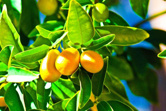 5. Lemon trees
