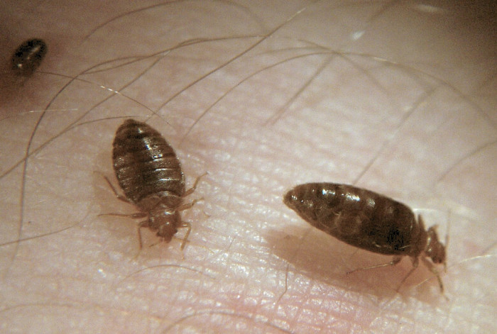 3. The Bed Bug